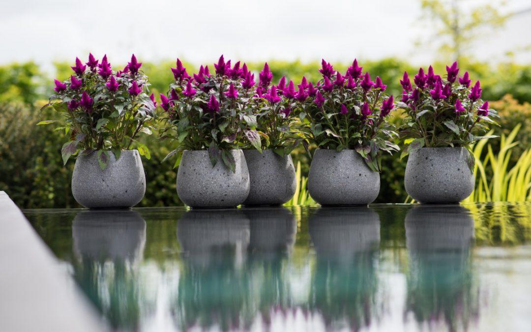 De meest trendy plant aller tijden; Celosia Deep Purple®